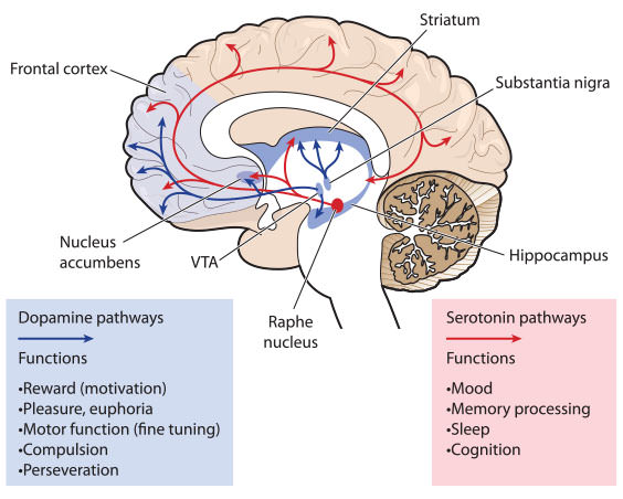 Abnormally low levels of the neurotransmitter serotonin are neurotransmitter serotonin depression ccuart Image collections