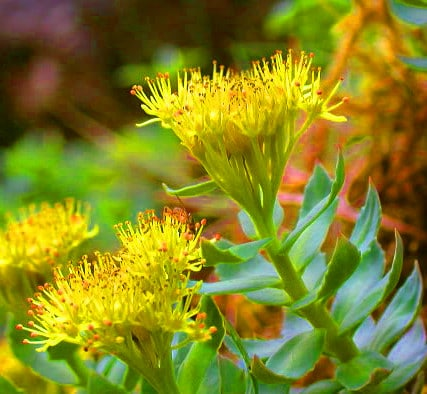 Rhodiola Rosea, What is Rhodiola good for